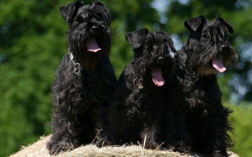 affenpinscher dogs