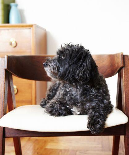 affenpinscher puppy