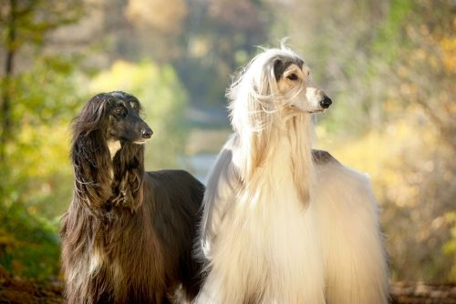 afghan hound dogs