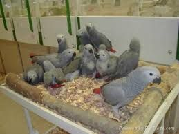 African Grey Birds for sale in New York Ave NW, Washington, DC, USA. price -USD