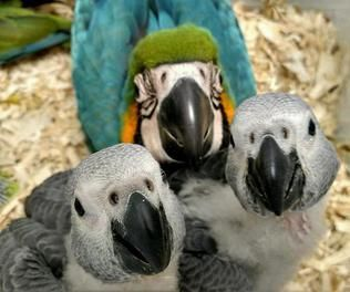 African Grey Parrot Birds for sale in Los Angeles, CA, USA. price -USD