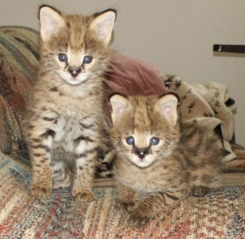 african serval kittens