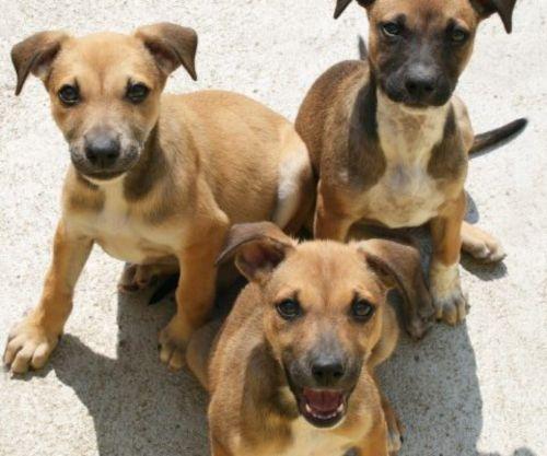 africanis puppies