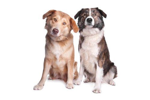 aidi dogs