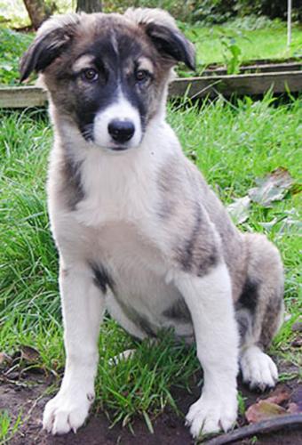 aidi puppy