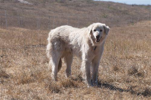 akbash dog dog