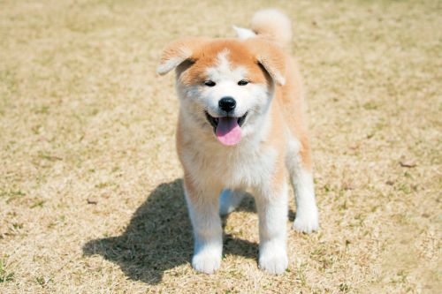 how to take care of japanese spitz