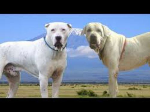 alangu mastiff dogs