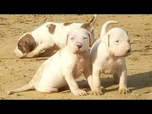 alangu mastiff puppies