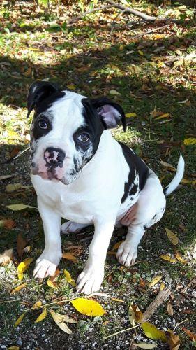 alapaha blue blood bulldog puppy