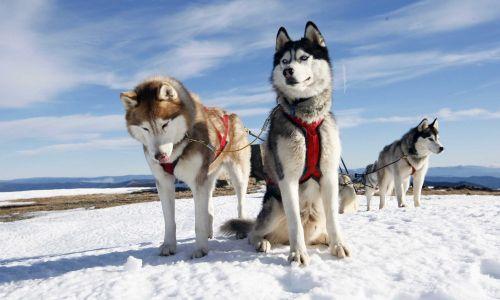 alaskan husky dogs