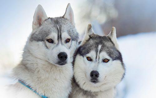 alaskan malamute dogs