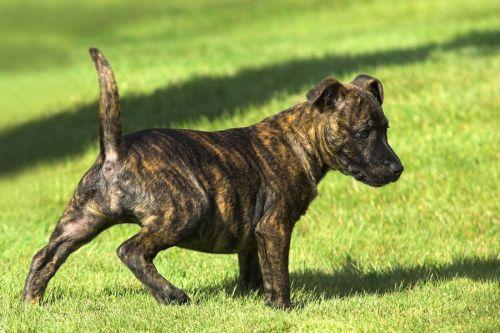 alaunt puppy