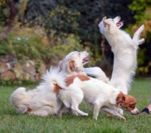 alopekis dogs