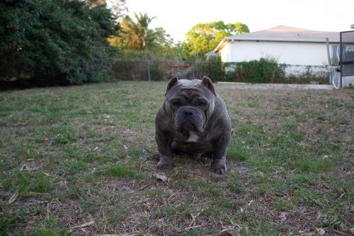 American Bully Puppies for sale in Port St Lucie, FL 34983, USA. price 2000USD