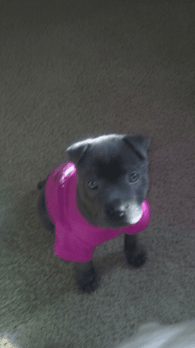 American Bully Puppies for sale in Flint, MI, USA. price 475USD