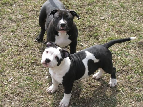 american bully dogs