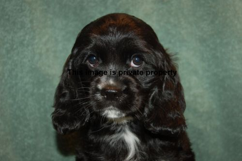American Cocker Spaniel Puppies for sale in Sarasota, FL, USA. price 920USD