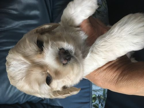 American Cocker Spaniel Puppies for sale in Lakeland, FL, USA. price 1200USD