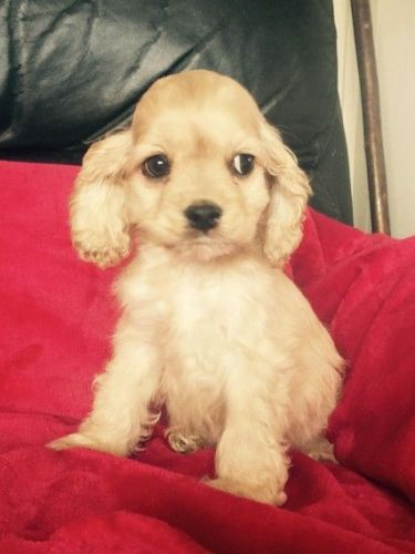 American Cocker Spaniel Puppies for sale in New York, NY, USA. price 300USD