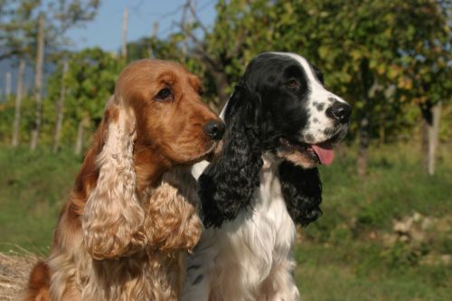 american cocker spaniel dogs