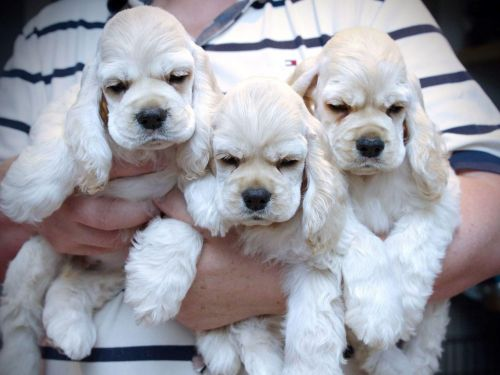 american cocker spaniel puppies