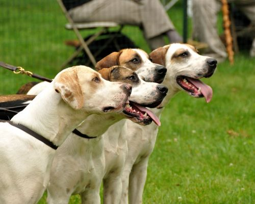 american english coonhound dogs