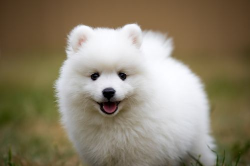 american eskimo dog puppy