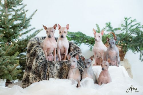 american hairless terrier dogs