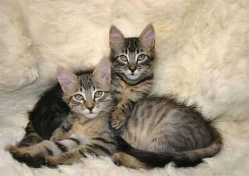 american keuda kittens