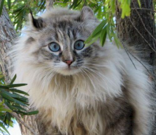 american longhair kitten