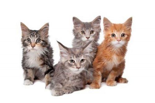 american longhair kittens