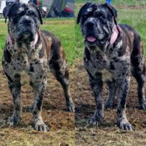 american mastiff dogs