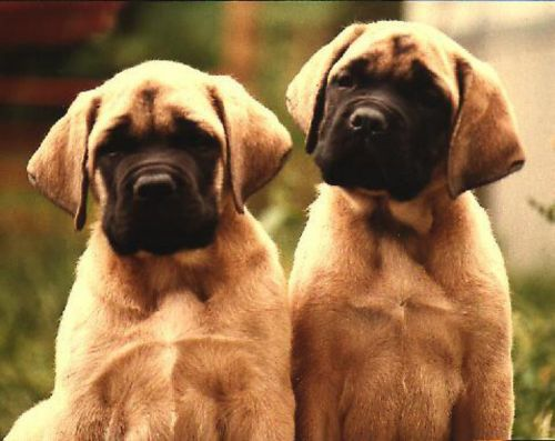 american mastiff puppies