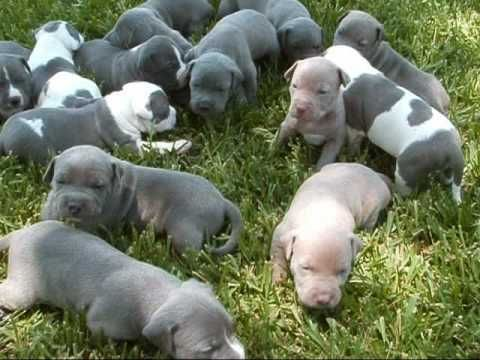American Pit Bull Terrier Puppies for sale in 58503 Rd 225, North Fork, CA 93643, USA. price 600USD