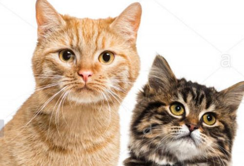 american polydactyl cats