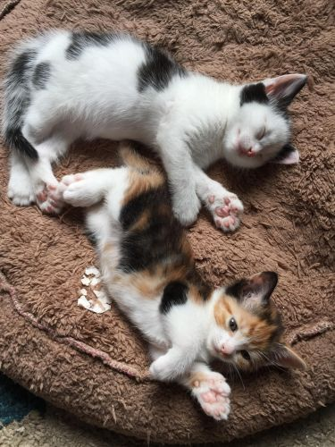 american polydactyl kittens