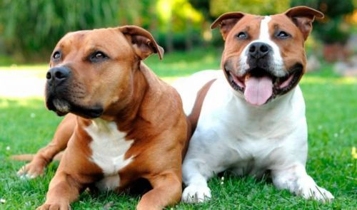 american staffordshire terrier dogs