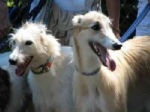 american staghound dogs