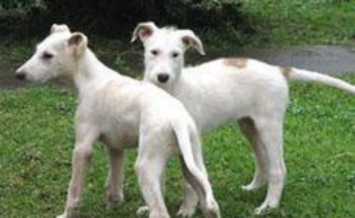 american staghound puppies