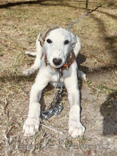 american staghound puppy