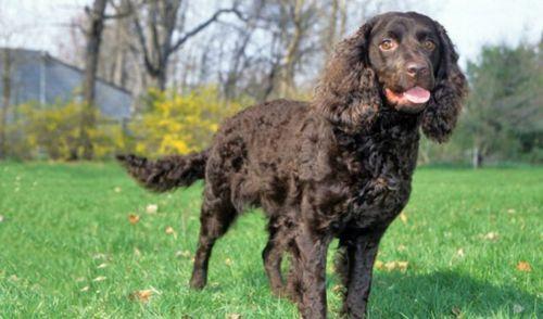 american water spaniel dog