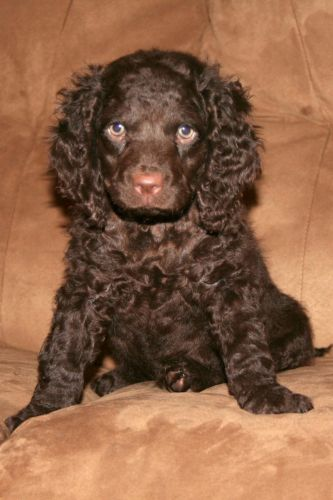 american water spaniel puppy