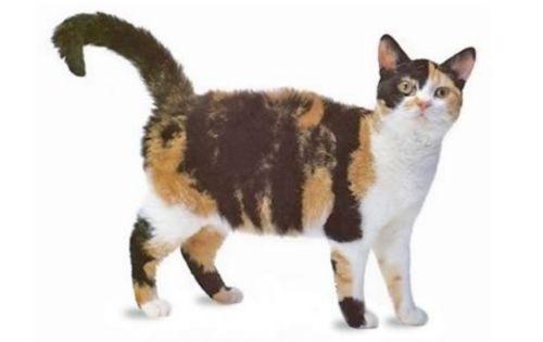 american wirehair cat