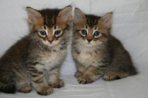 american wirehair kittens