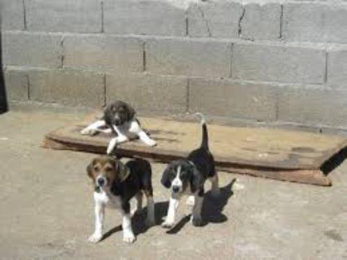 anglo francais de petite venerie puppies