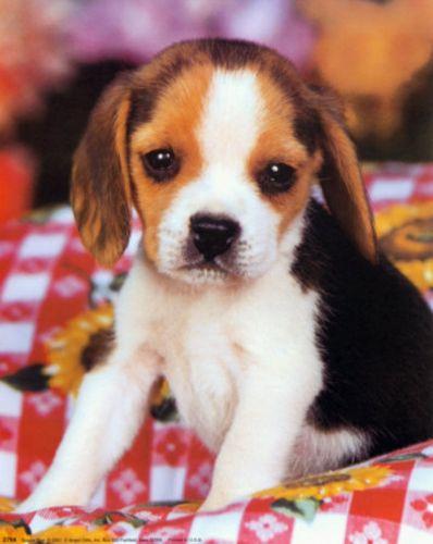 anglo francais de petite venerie puppy