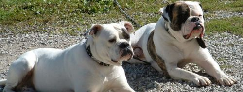 antebellum bulldog dogs