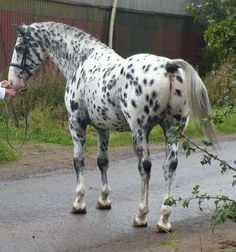 Appaloosa Horses for sale in Yorba Linda, CA, USA. price 2000USD