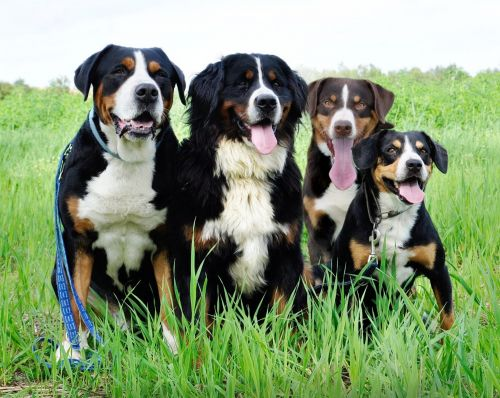 appenzell mountain dog dogs